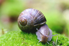 (Helix pomatia) edible snail macro Stock Photos