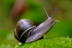 Free (Helix Pomatia) Edible Snail Macro Royalty Free Stock Photos - 13525598
