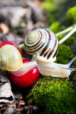 Helix Pomatia  edible snails in forest Royalty Free Stock Photos