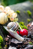 Helix Pomatia  edible snails in forest Stock Photo