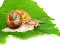 Helix pomatia, on grape leaves. On a white background stock photo