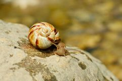 Helix pomatia (grape snail) Royalty Free Stock Photo