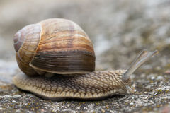 Helix Pomatia long. Snail Helix Pomatia on the rock in macro close-up photo Stock Photo
