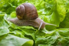 Helix pomatia, lumaca di Borgogna Fotografia Stock Libera da Diritti