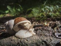 Helix pomatia_Schnecke_near on the ground Stock Images