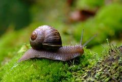 (Helix pomatia) snail Stock Images