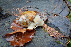 Helix pomatia snail Stock Photo