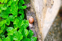Helix Pomatia snail in the garden after rain Stock Photo