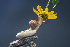 Free Helix Pomatia. Snail On A Stone Pyramid Is Drawn To The Scent Of A Yellow Flower. Mollusc And Invertebrate. Delicacy Meat And Royalty Free Stock Photography - 192960657