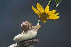 Free Helix Pomatia. Snail On A Stone Pyramid Is Drawn To The Scent Of A Yellow Flower. Mollusc And Invertebrate. Delicacy Meat And Stock Image - 207856681