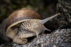 Helix Pomatia. Snail Helix Pomatia on the rock in macro close-up photo Stock Photos