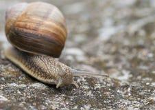 Helix Pomatia 3. Snail Helix Pomatia on the rock in macro close-up photo Royalty Free Stock Photo
