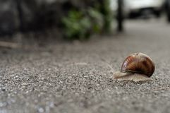 Helix pomatia sull'asfalto Fotografia Stock