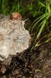 Helix pomatia sulla roccia Immagini Stock Libere da Diritti