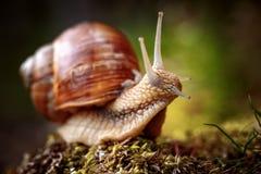 Helix pomatia także Romański ślimaczek, Burgundy ślimaczek Obraz Stock