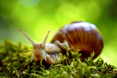 Helix pomatia także Romański ślimaczek, Burgundy ślimaczek Zdjęcia Stock