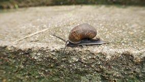Helix pomatia także rzymski ślimaczek, Burgundy ślimaczek, czołgać się na betonie zbiory wideo