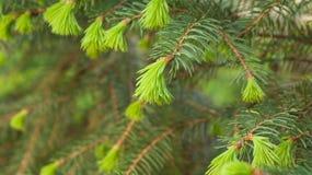 Hell grüne stachelige Zweige eines Pelzbaums oder der Kiefer Lizenzfreie Stockfotos