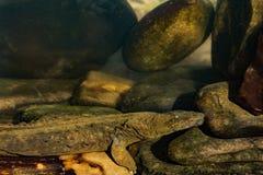 Hellbender orientale Immagini Stock Libere da Diritti