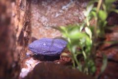 Hellbender salamander Στοκ εικόνες με δικαίωμα ελεύθερης χρήσης