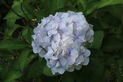 Hellblaue blühende Blumen der Hortensie im Garten Slight Unschärfe im Seitentrieb, um Bewegung zu zeigen Stockfotografie