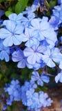 Hellblaue Bleiwurz mit mehrfachen Köpfchen V hellblaue Blumen Stockbild