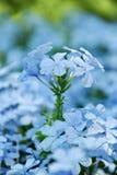 Hellblaue Blume – Bleiwurz Lizenzfreies Stockbild