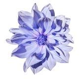 Hellblaue Blume der Dahlie auf einem lokalisierten weißen Hintergrund mit Beschneidungspfad nahaufnahme Keine Schatten lizenzfreies stockfoto