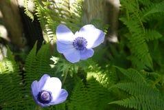 Hellblaue Blume mit grünem Farn Stockbild