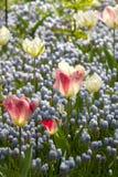 Hellblaue Traubenhyazinthe-, weiße und rosafarbenetulpen stockfotografie