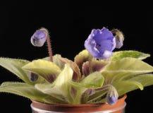 Hellblaues Veilchen in einem Topf Stockfotos