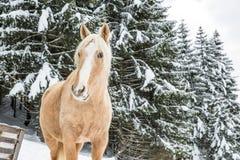 Hellbraune Palomino-Stute in Snowy Jura Pine Trees Forest im Gewinn lizenzfreies stockfoto