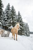 Hellbraune Palomino-Stute in Snowy Jura Pine Trees Forest im Gewinn stockfotografie