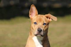Hellbrauner Hund mit einem aufmerksamen und spielerischen Blick eines schönen Blaus mit einem rechten Ohr und einem Sinken Lizenzfreie Stockfotografie