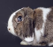 Hellbraunes und weißes Kaninchen lizenzfreie stockbilder