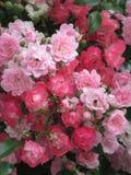 Helle attraktive bunte königliche Rosen und Blumen Bonica, die im Frühsommer an der Königin Elizabeth Park blühen stockbilder