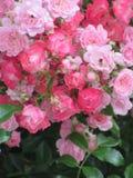 Helle attraktive bunte königliche Rosen und Blumen Bonica, die im Frühsommer an der Königin Elizabeth Park blühen lizenzfreie stockfotografie