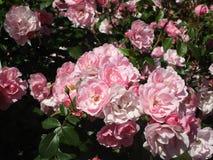 Helle attraktive bunte königliche Rosen und Blumen Bonica, die im Frühsommer an der Königin Elizabeth Park Rose Garden blühen stockbild