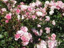 Helle attraktive bunte königliche Rosen und Blumen Bonica, die im Frühsommer an der Königin Elizabeth Park Rose Garden blühen lizenzfreie stockbilder