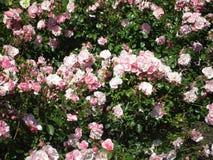 Helle attraktive bunte königliche Rosen und Blumen Bonica, die im Frühsommer an der Königin Elizabeth Park Rose Garden blühen stockfotos