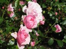 Helle attraktive bunte königliche Rosen und Blumen Bonica, die im Frühsommer an der Königin Elizabeth Park Rose Garden blühen lizenzfreies stockbild