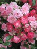 Helle attraktive bunte königliche Rosen und Blumen Bonica, die im Frühsommer an der Königin Elizabeth Park Rose Garden blühen stockfoto