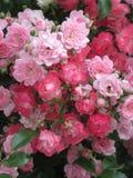 Helle attraktive bunte königliche Rosen und Blumen Bonica, die im Frühsommer an der Königin Elizabeth Park Rose Garden blühen lizenzfreie stockfotos