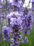 Helle attraktive bunte purpurrote Lavendelblumen, die im Frühsommer an der Königin Elizabeth Park Rose Garden blühen lizenzfreie stockfotos