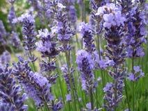 Helle attraktive bunte purpurrote Lavendelblumen, die im Frühsommer an der Königin Elizabeth Park Rose Garden blühen lizenzfreies stockfoto
