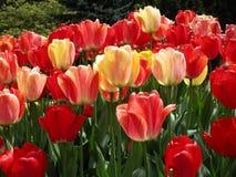 Helle attraktive bunte Tulpenblumen, die im Vorfrühling an der Königin Elizabeth Park Rose Garden blühen lizenzfreie stockbilder