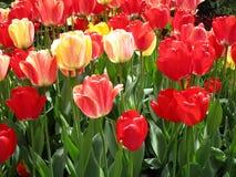 Helle attraktive bunte Tulpenblumen, die im Vorfrühling an der Königin Elizabeth Park Rose Garden blühen stockfoto