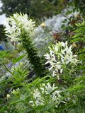 Helle attraktive bunte weiße Blumen, die im Frühsommer an der Königin Elizabeth Park blühen stockbilder