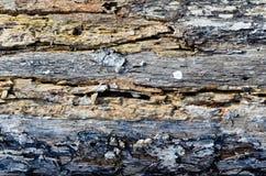 Helle Beschaffenheit der Baumrinde im horizontalen Plan Stockbild