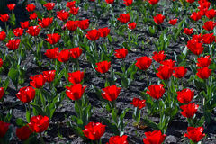 Helle blühende rote Tulpen Stockbild